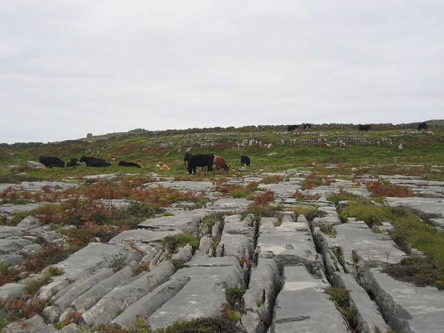 Cows on the rocks.