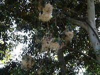 Hanging bird nests