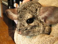 chinchilla_sale_004.jpg