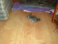 chinchilla_sale_008.jpg