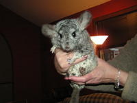 chinchilla_sale_013.jpg