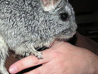 chinchilla_sale_017.jpg
