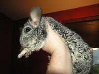 chinchilla_sale_018.jpg
