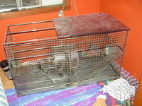 chinchilla_sale_021.jpg