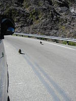 Kea birds who tried to mate with the van